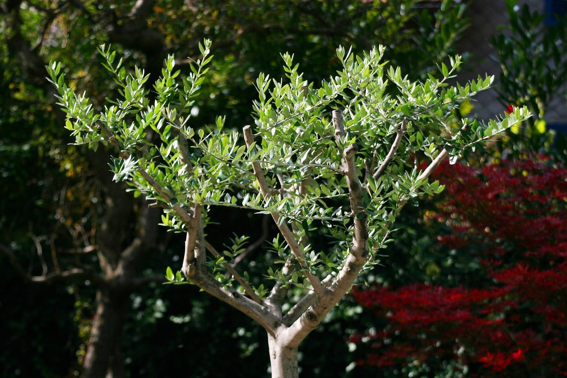 Jardín con un olivo joven.