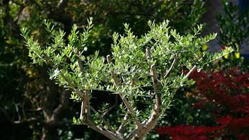 Un olivo en tu jardín: plantación y mantenimiento.